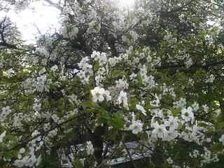 kirsikat kukkii