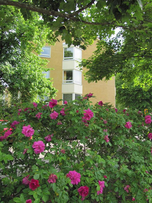 vesakkotie ruusuja p img 0302 sp