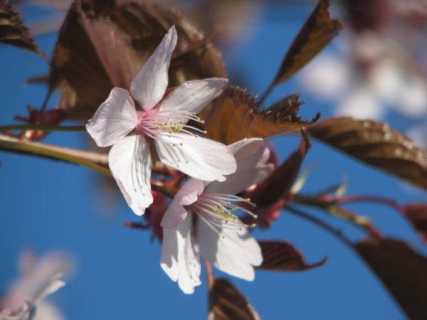 kirsikankukkia_2.jpg