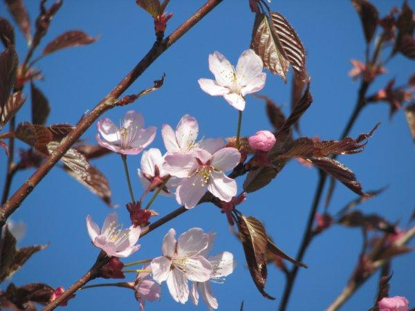 kirsikankukkia_3.jpg