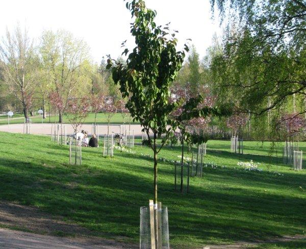 kirsikkapuiston_uusi_puu.jpg
