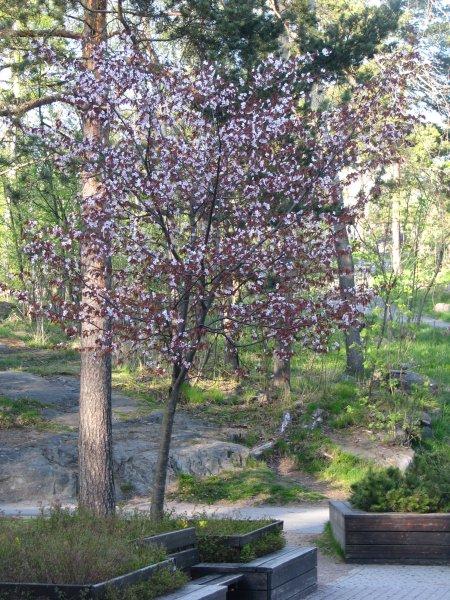 leikkipuisto_tuhkimon_kirsikkapuu.jpg