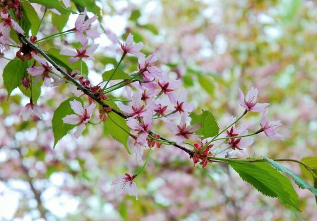 kirsikankukat pekka makela 5