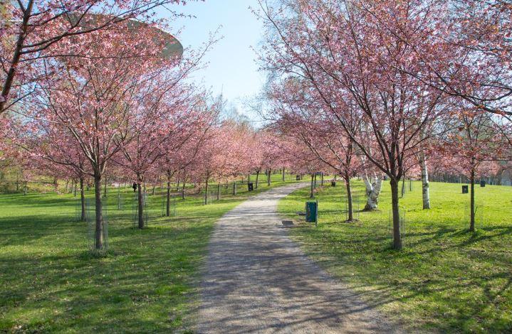 kirsikkapuisto kuva